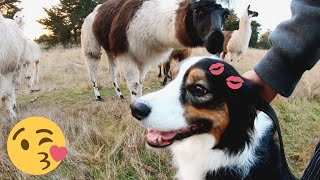 Dog's Reaction When Llama KISSED Her!