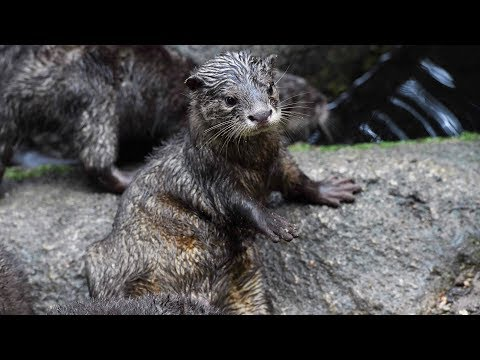 Wild otters spotted in northwest China
