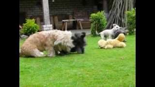Irish Glen Of Imaal Terrier Puppies 18.05.2012