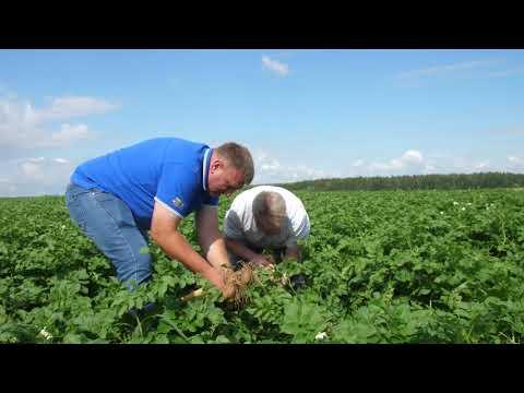 Как защитить картофель? \