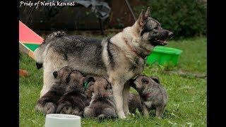 Hodowla psów rasowych od narodzin do 10 tygodnia - Elkhund szary