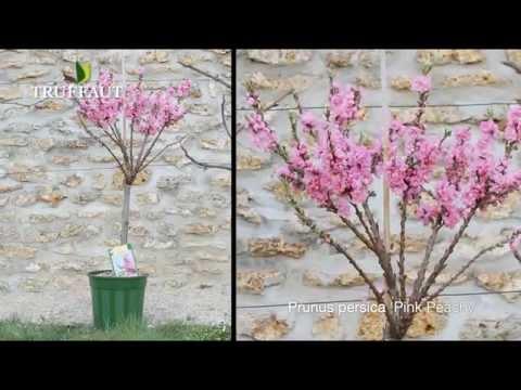 Le pêcher nain ou prunus persica - Jardinerie Truffaut TV