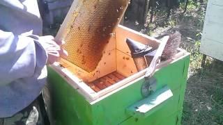 Качаю мёд отбираю рамки #Пчеловодство(Качаю мёд с подсолнуха. Отбор рамок при откачке мёда с подсолнуха. Преимущество корпусных ульев при качке., 2016-07-19T15:49:10.000Z)