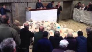 Welsh Mountain Sheep selling at Gaerwen mart