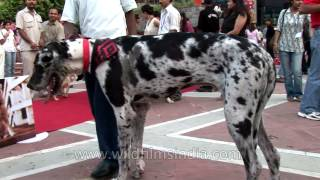 Dalmatian Searches For Soulmate At India's First Dog Marriage Ceremony - Ansal Plaza, Delhi
