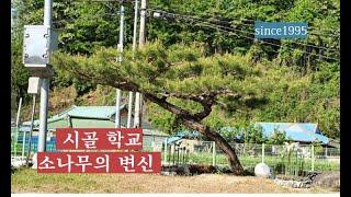 시골학교 소나무의 변신…