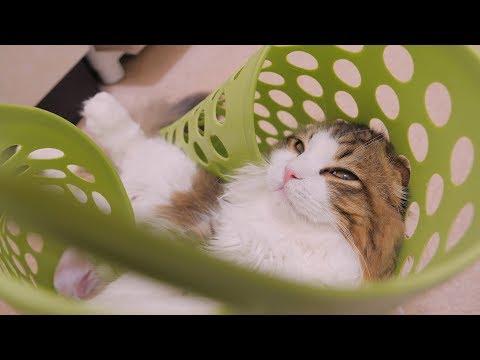 猫が洗濯かごにはまってしまったことを認めません