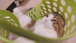 いつも洗濯籠に突撃してくるこっちゃん。足がはさまって出られなくなったようです。助けてあげようとしてもその必要はないと全力で猫パンチ...