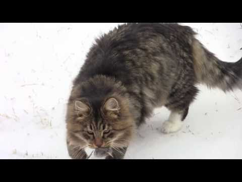 Siberian Cats on the Bad Weather Day