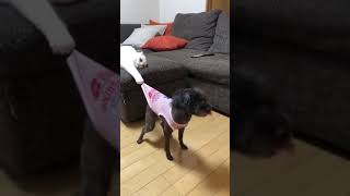 Cat pulls dog by the shirt