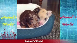Pig or Dog???????? Funny Dog Videos. Funny Cats und Kittens Videos....