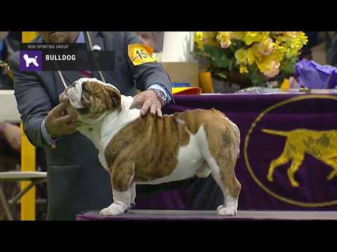Bulldog part 1 | Breed Judging 2019
