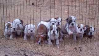 Dog pile! English Bulldog puppies sleeping.
