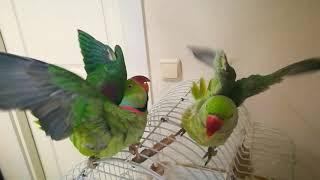 Alexander papağan banyo