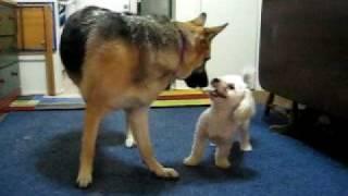 Toy Poodle Vs. German Shepherd