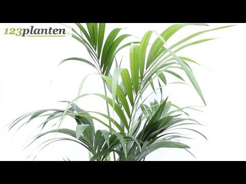 Kentia - Howea Forsteriana