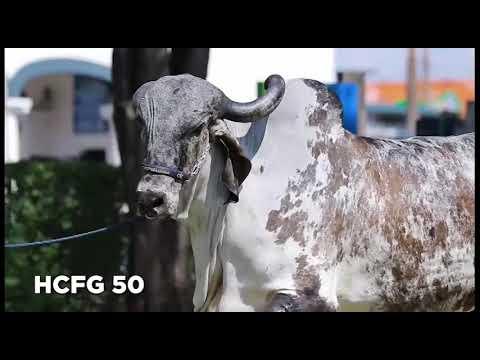 Lote 9   Iva FIV de Bras  – RRP6668 X Figo Angra – HCFG50