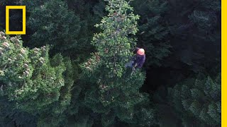 Christmas Tree Harvesting Is Gravity-Defying (and Sometimes Illegal) | National Geographic