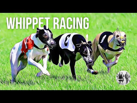 whippet-racing