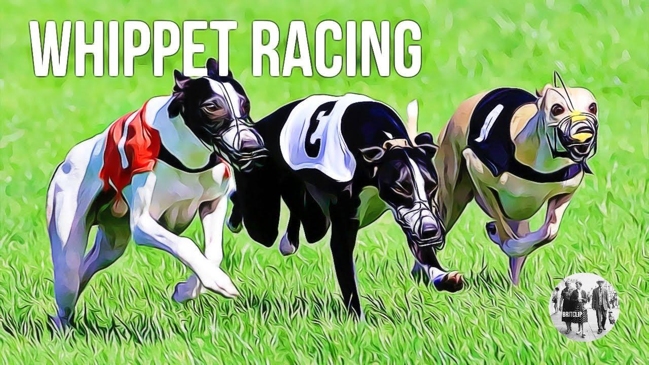 ef0fe7c04e776 Whippet Racing - YouTube