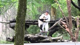 2014-05-10 大貓熊圓仔被保育員收回展場 Giant panda cub YuanZai got carried back