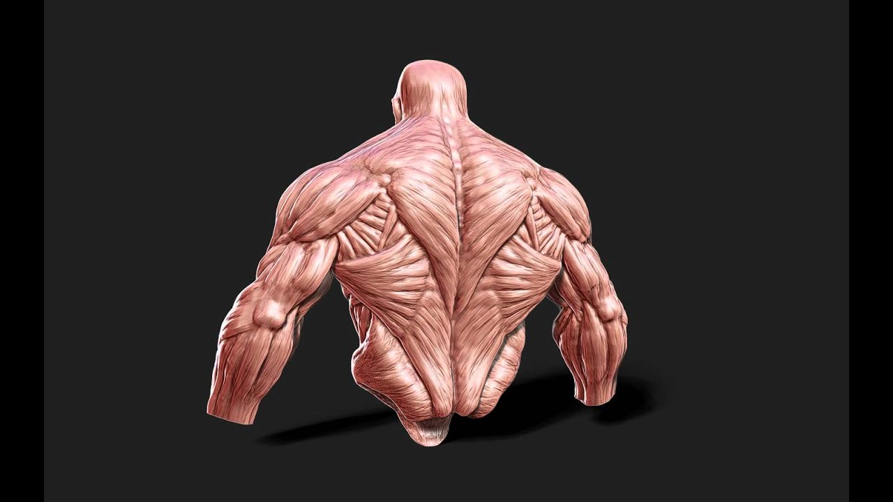 ANATOMY Muscle man - DynaMash in ZBrush 4r2 - YouTube