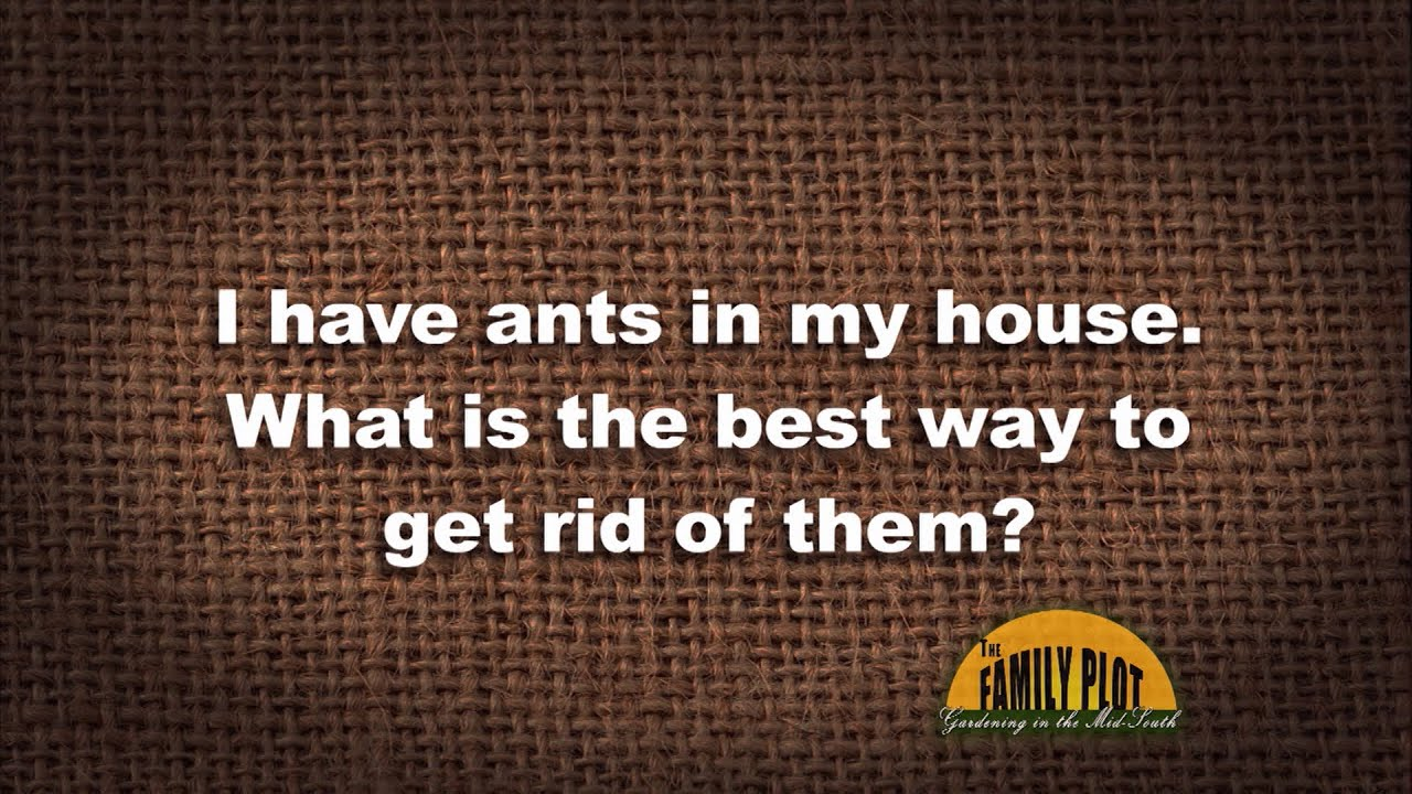I have ants in my house - Q A How Do I Get Rid Of Ants In My House