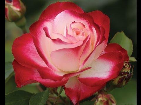 Heirloom Roses Youtube