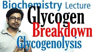 Glycogen breakdown | glycogen metabolism lecture 2