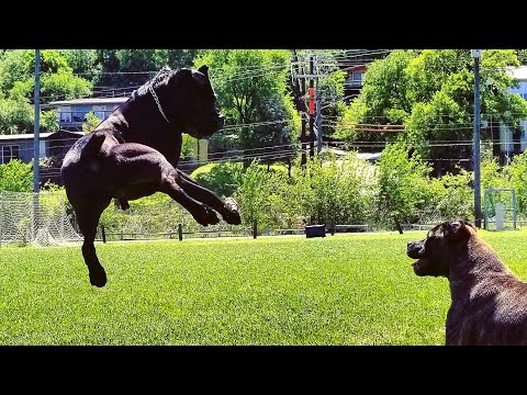 Cane Corso ATTACKS water hose!  😂