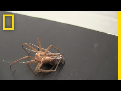 Watch: Kinky Male Spiders Tie Up Females to Survive Sex | National Geographic