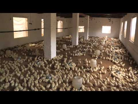 Poultry Farming In Pakistan Guide