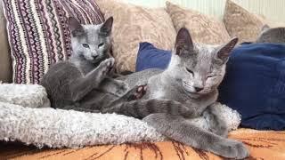 Русские голубые котята! Русская голубая Кошка!