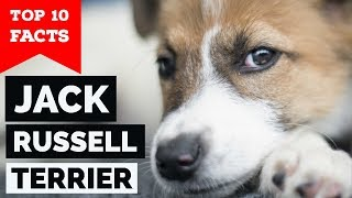 Jack Russell Terrier – Top 10 Facts (The Hollywood Dog)