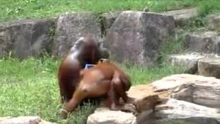 Orang-outan avec une serviette comme un humain