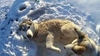 Спасение ХАСКИ из полыньи Братского водохранилища#Сибирь38