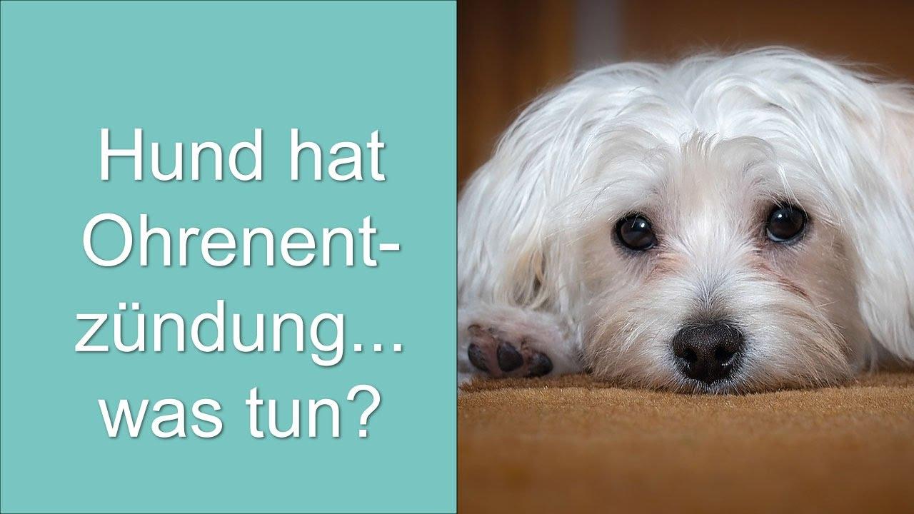 Hund Hat Ohrenentzündung... Was Tun?