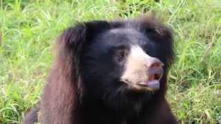 Baby Black Bear try to jump |Black Bear at vizag zoo