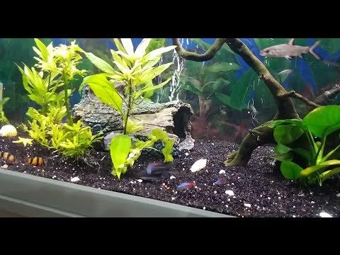 Akvaryum Temizliği Yapıyoruz Lepistes Neon Çöpcü Köpek Balığı