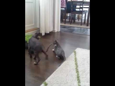 Cats fighting  (cornish rex vs sphynx) with commentary