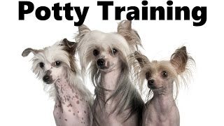 How To Potty Train A Chinese Crested Dog Puppy - Chinese Crested Training - Chinese Crested Puppies