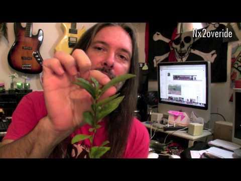 Grow your own tea plant Camellia Sinensis