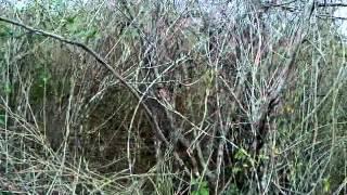 Caçada De Raposa   Foxhound Americano Com Beagle