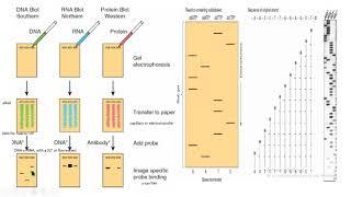 DNA recombinant DNA secuencia de Sanger sequencing biología molecular biology
