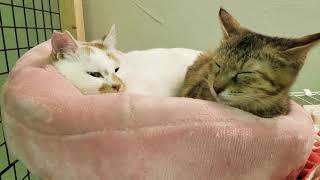 飯田多頭飼育崩壊からのレスキュー組 あまえんぼうの2匹です。 #猫 #ね...