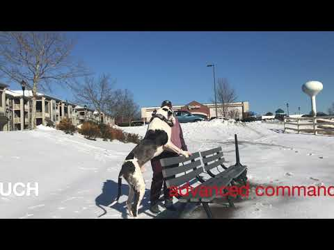 Memphis - Great Dane with Anxeity before/after Charlotte Dog Trainers