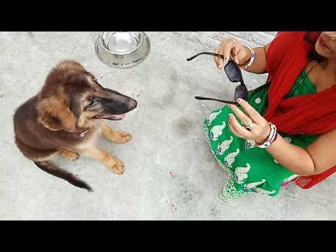 Funniest & Cutest German shepherd puppies #1 funny dog  compilation.