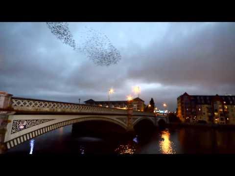 Starlings at Albert Bridge, Belfast