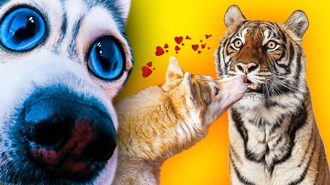 БУБЛИК ЦЕЛУЕТСЯ С ТИГРИЦЕЙ!!! (Хаски Бандит) Говорящая собака