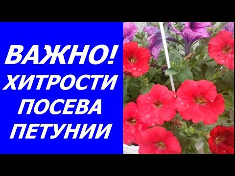 Хитрости посева семян петунии на рассаду. Грунт, посев, полив, уход. Цветы для Вашего сада!
